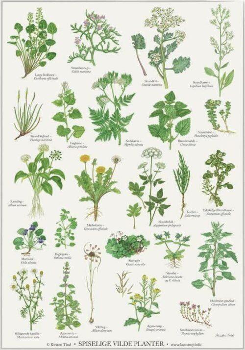 Spiselige Vilde Planter - kirsten tind