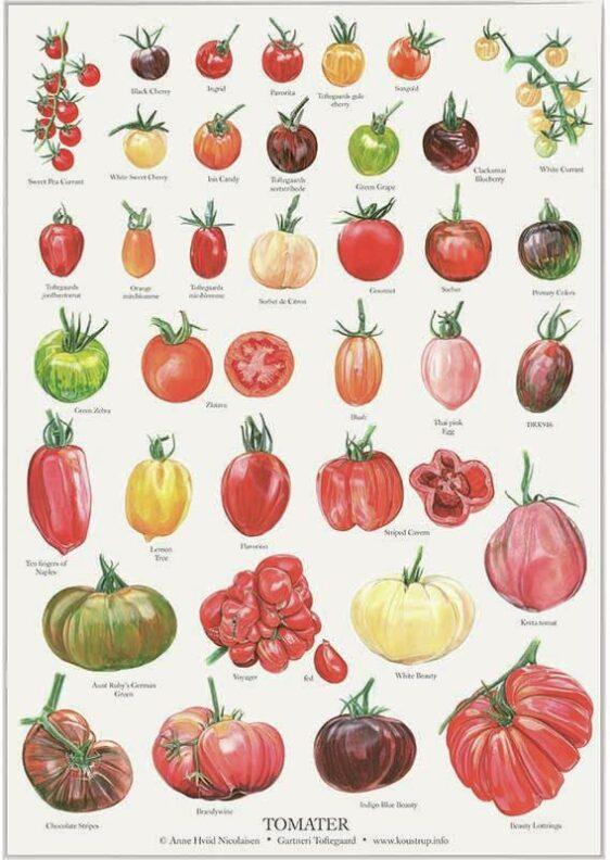 Tomater - kirsten lind